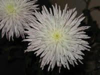 Ծաղիկի նկար